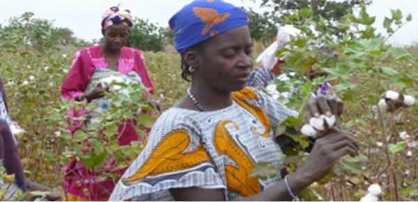 femmes de koussanar entrain de récolter le coton.png